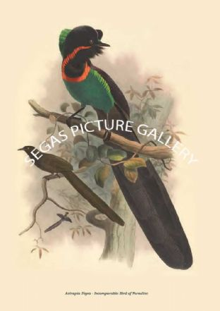 Astrapia Nigra - Incomparable Bird of Paradise